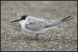 Little Tern / Dwergstern / Sterna albifrons