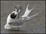 Arctic Tern / Noordse Stern / Sterna paradisaea