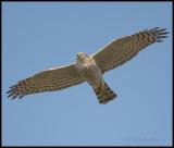 Sparrowhawk / Sperwer / Accipiter nisus