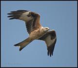 Red Kite / Rode Wouw / Milvus milvus