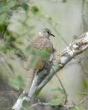 doves__pigeons