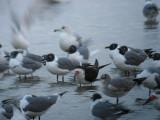 gulls_skimmers__terns