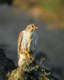 prairie_falcons