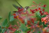 Rufous Hummingbird in Trumpet Honeysuckle