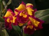 Santa Barbara Orchid Show 2007