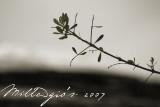 Olive-branch.jpg