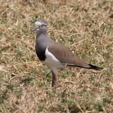 Black-winged Lapwing