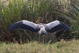 Yellow-billed Stork: ready for take-off