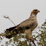 Tawny Eagle (pale form)