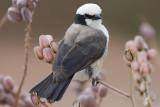 Northern White-crowned Shrike - Eurocephalus rueppelli
