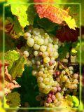 Chardonnay Is Waiting For Harvest, Gyor, Hungary