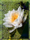 Water Lily in Pond, Gyor, Hungary