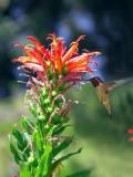 Pretty Peruvian Flower And Kolibri