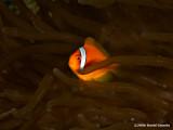 2006.12.30 Anemone fish