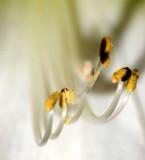 amaryllis0144j.jpg