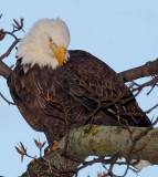 Eagles In Maryland