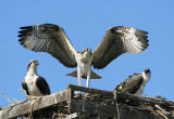 Soon to Fledge Juvenile Practices While Mom (left) & Brother Watch