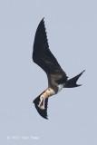 Frigatebird, Christmas Island @ Straits of Singapore