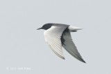 Tern, White-winged Black @ Straits of Singapore
