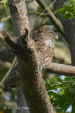 Owl, Brown Fish @ Kaziranga