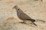 Dove, Red-collared (female) @ Changi