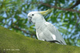 Cockatoo, Yellow-crested @ Chinese Gardens