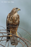 Buzzard, Common