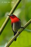 Sunbird, Crimson (male) @ Upper Pierce