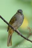 Bulbul, Olive-winged