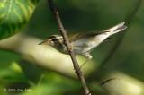 Warbler, Arctic @ Bukit Timah