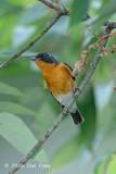 Flycatcher, Mugimaki (male) @ Bukit Timah