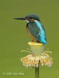 Kingfisher, Common (male) @ Botanic Gardens