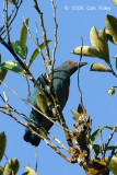 Bluebird, Asian Fairy (female)