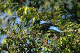 Bluebird, Asian Fairy