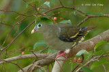 Pigeon, Thick-billed Green (female) @ Seletar