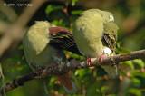 Pigeon, Thick-billed Green @ Seletar