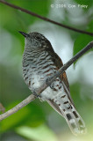 Cuckoo, Little Bronze (female) @ Sungei Buloh