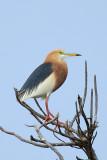 Heron, Javan Pond (breeding) @ Nusa Dua