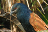 Coucal, Greater @ Loewen Road