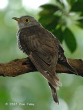 Cuckoo, Indian (male) @ Pulau Ubin