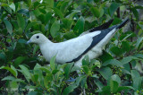 Pigeon, Pied Imperial @ Chinese Gardens