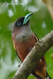 Broadbill, Banded (female)