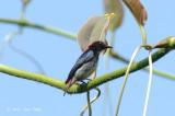 Flowerpecker, Scarlet-backed (male) @ Bukit Batok Nature Park