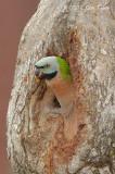 Parakeet, Red-Breasted (female) @ Changi Village