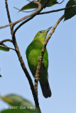 Leafbird, Greater-green (female)