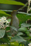 Spiderhunter, Grey-breasted