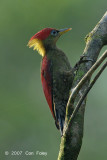 Woodpecker, Crimson-winged (female)