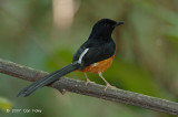 Shama, White-rumped (male) @ Hindhede