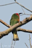 Bee-eater, Red-bearded (female)