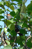 Malkoha, Chestnut-bellied